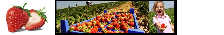 header-erdbeer-levenig-weg-erdbeere